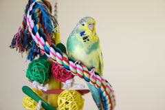 Lime and yellow pied budgie. Cute lime and yellow budgerigar sitting on woven rope perch Royalty Free Stock Image