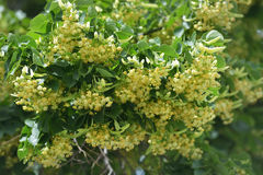 Limeflowers royalty free stock images