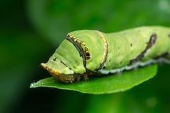 Limefrukt Caterpillar av borneo Royaltyfri Foto