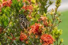 Limefrukt-/citronfjäril eller limefrukt/rutiga Swallowtail på en röd blommaPapilio demoleus arkivbild