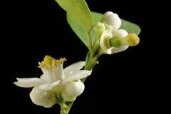 Limefrukt med blomman royaltyfri foto