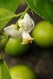 Limefrukt med limefruktblomningen arkivbilder