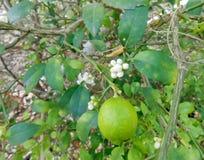 Limefrukt och blomning på filial royaltyfri bild