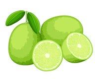 Limefrukt och skivor av limefrukter Vektorillustration av limefrukter Vektorillustration för den dekorativa affischen, emblemnatu Fotografering för Bildbyråer