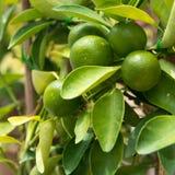 Limefrukt på träd Fotografering för Bildbyråer