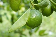 Limefrukt på träd royaltyfri fotografi
