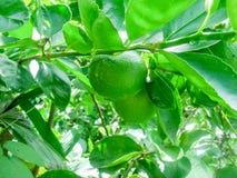 Limefrukt på träd, grön limefrukt arkivfoton