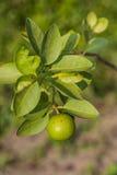 Limefrukt på trädet arkivfoton