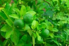 limefrukt på tree Arkivfoto