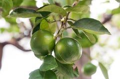 Limefrukt på tree fotografering för bildbyråer