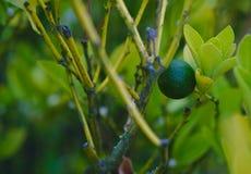 Limefrukt p? tree royaltyfri fotografi