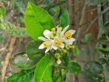 Limefruktblomma i trädgården Arkivfoto