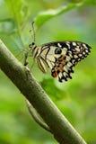 Limefruktfjäril, kryp, fjäril Royaltyfri Bild