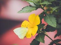 Limefruktfjäril på en gul blomma Royaltyfri Foto