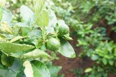 Limefruktfrukt på träd Royaltyfria Bilder