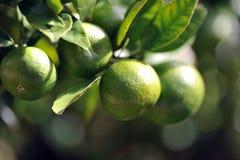 limefrukttree Arkivfoton
