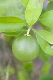 limefrukttree fotografering för bildbyråer