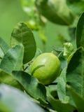 Limeira e cais verdes frescos no ramo Imagens de Stock