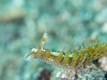 Limenandra-rosanae Nudibranch Stockfotos