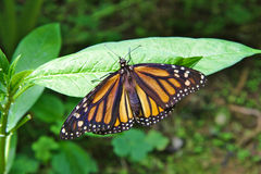 Limenitis archippus, Viceroy or Monarch butterfly Royalty Free Stock Photography