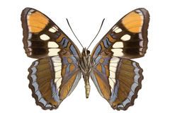 Limenitis bredowii Stock Images