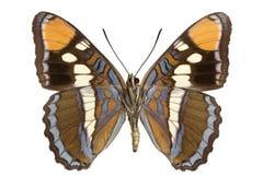 Limenitis bredowii. Adult California Sister (Limenitis bredowii) isolated on white Stock Images