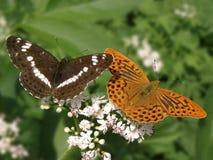 Limenitis camilla & Argynnis paphia Royalty Free Stock Image