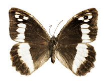 Limenitis camilla Royalty Free Stock Photos