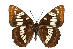Limenitis lorquini Royalty Free Stock Photos