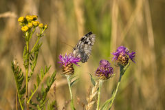 Limenitis populi Royalty Free Stock Image