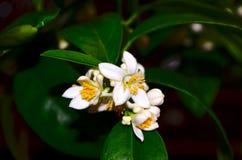 Limequat de florecimiento de Eustis Fotografía de archivo libre de regalías