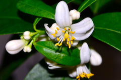Limequat de florecimiento de Eustis Imagen de archivo libre de regalías