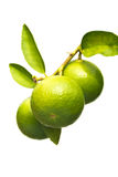 Limes on branch. Fresh ripe limes on branch on white background Stock Photography