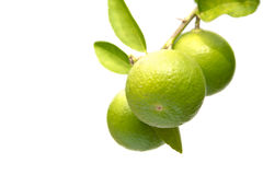 Limes on branch. Fresh ripe limes on branch on white background Royalty Free Stock Image