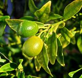 Limes. Fresh Growing green limes on tree with green leaves Royalty Free Stock Photo