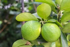 Limes fruit and green leaf on the branch for health, food and dring or agriculture concept design.  Royalty Free Stock Photos