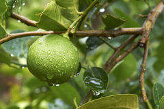 Limes in garden after raining Royalty Free Stock Photo