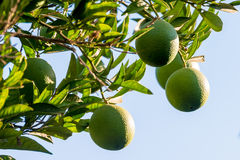 Limes growing on tree. Fresh ripe limes ready to pick, growing on tree against blue sky Royalty Free Stock Photography