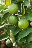Limes hanging on tree branch inter leaves Royalty Free Stock Photos