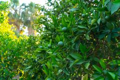 Limes hanging on a tree Stock Images