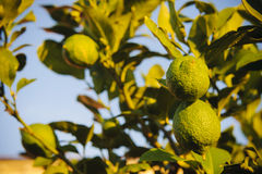 Limes on lime tree. Fresh limes on lime tree at sunset Royalty Free Stock Photos