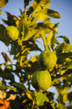 limes on lime tree. Fresh limes on lime tree at sunset Stock Photo