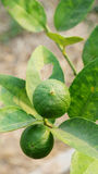 Limes plant Royalty Free Stock Photos