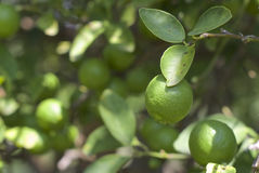Limes ripening on the tree Royalty Free Stock Photos