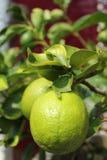 Limes on tree. Limes growing on lemon tree Stock Photo