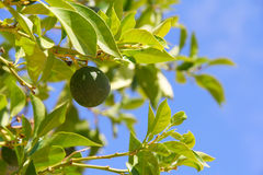 Limes on tree Royalty Free Stock Photography