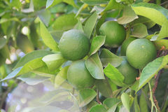Limes on tree royalty free stock photo