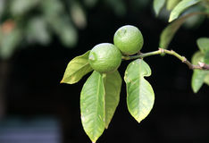 Limes on a tree Royalty Free Stock Photo