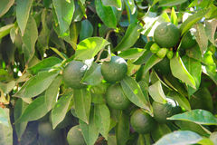Limes on tree Royalty Free Stock Photos