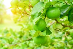 Limes on tree Stock Images